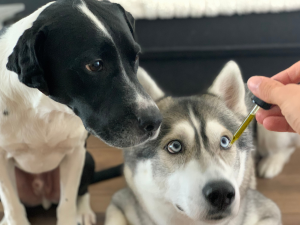 CBD oil being held up for dogs