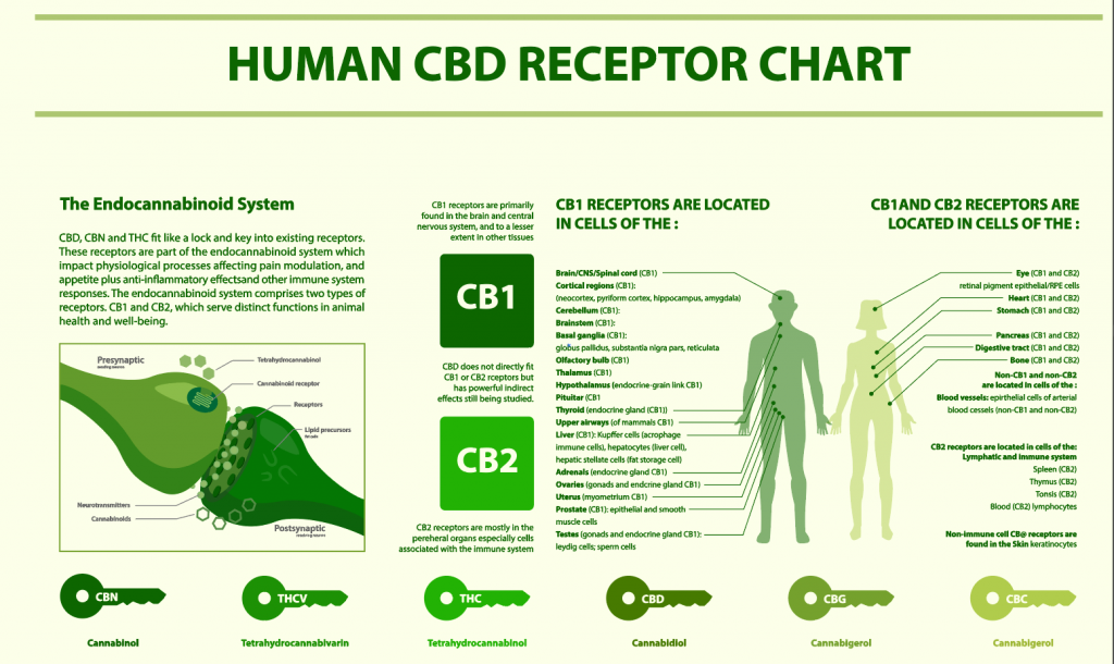the endocannabinoid system displayed as a chart