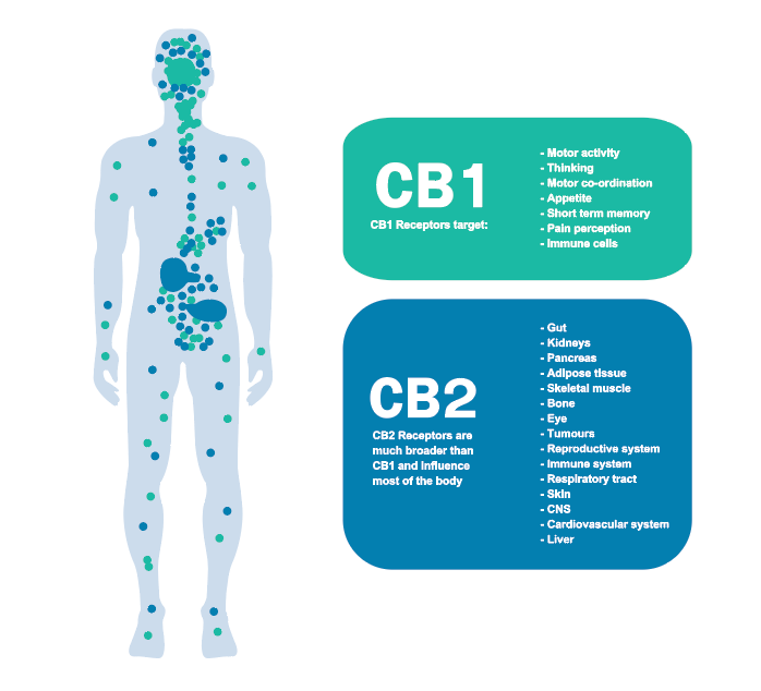 the endocannabinoid system broken down into CB1 and CB2 receptors