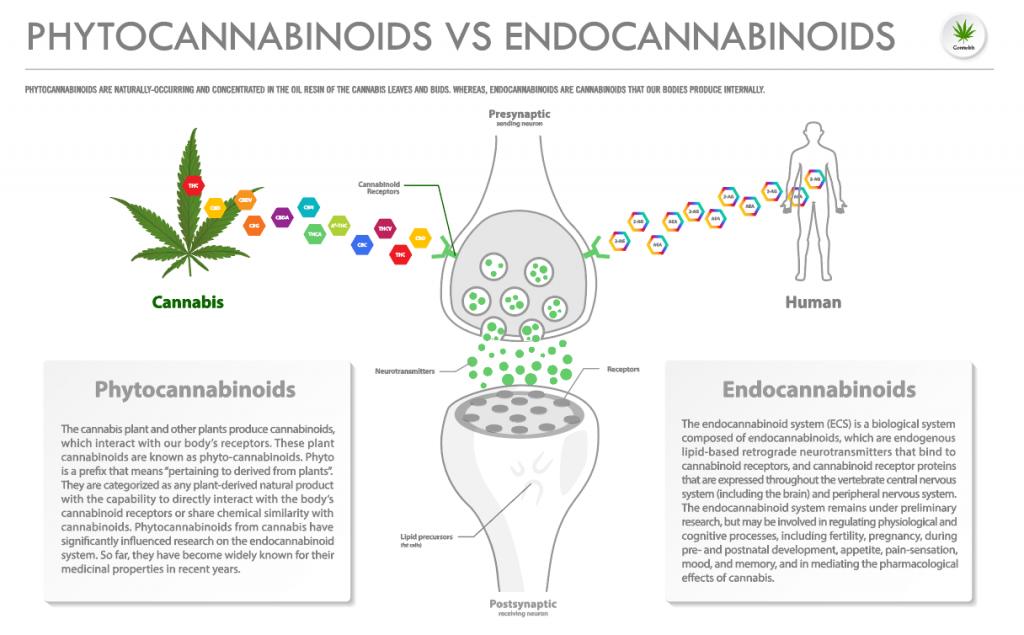 phytocannabinoids vs endocannabinoids on an infographic