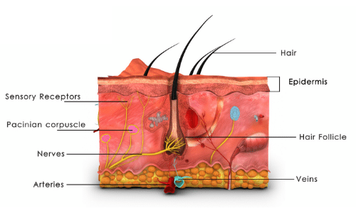 a cutaway to show the different layers of skin
