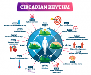 an infographic showing how circadian rhythm works throughout the day and night times